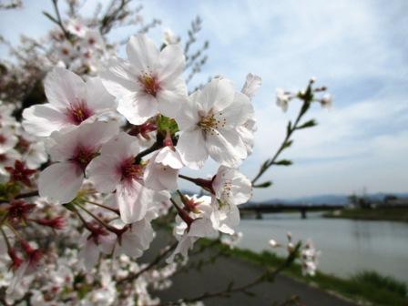 大谷建築の桜