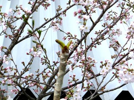 桜とタラの芽