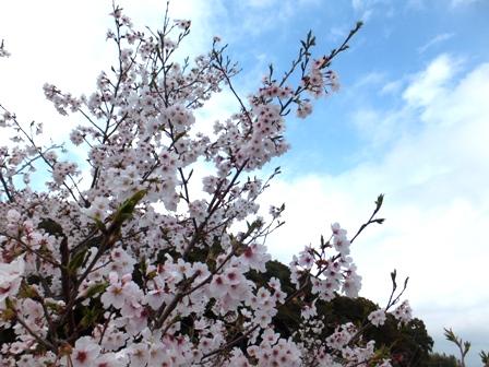岡豊山と桜