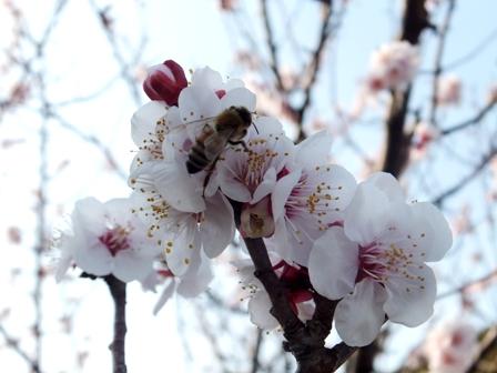 梅の花 みつばち